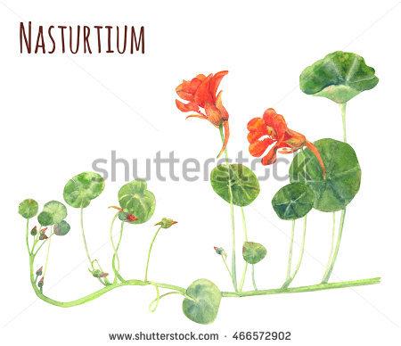 Nasturtium Stock Photos, Royalty.