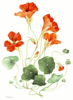 watercolour nasturtiums.