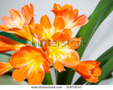 Natal Lily Clivia Miniata Species Flowering Stock Photo 287706947.