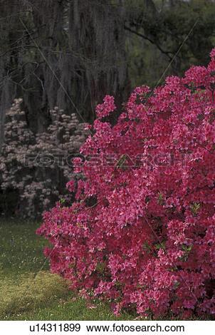 Stock Photograph of azaleas, garden, Natchez, MS, Mississippi.