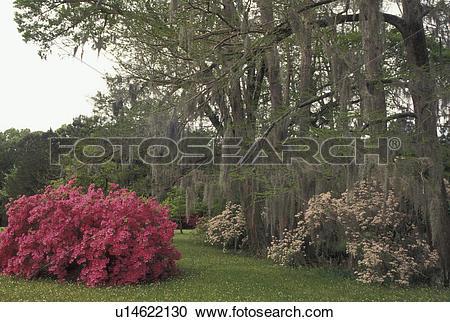 Stock Photography of Natchez, MS, Mississippi, Azaleas and trees.