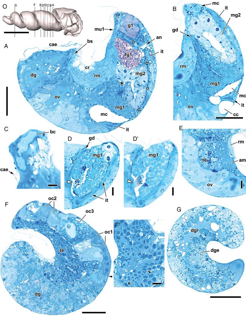 Microanatomy of shelled Koloonella cf. minutissima (Laseron, 1951.