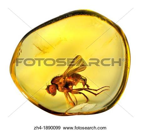 Stock Photograph of Prehistoric fly in Baltic Amber. The amber is.