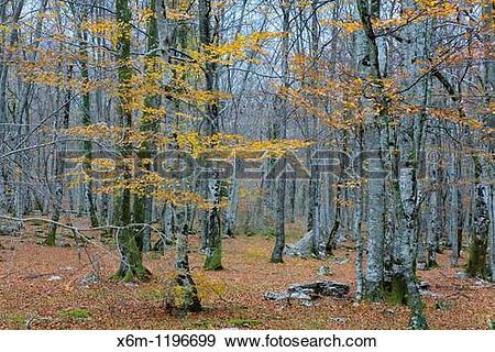 Stock Photograph of Beechwood in autumn Monte Santiago Natural.