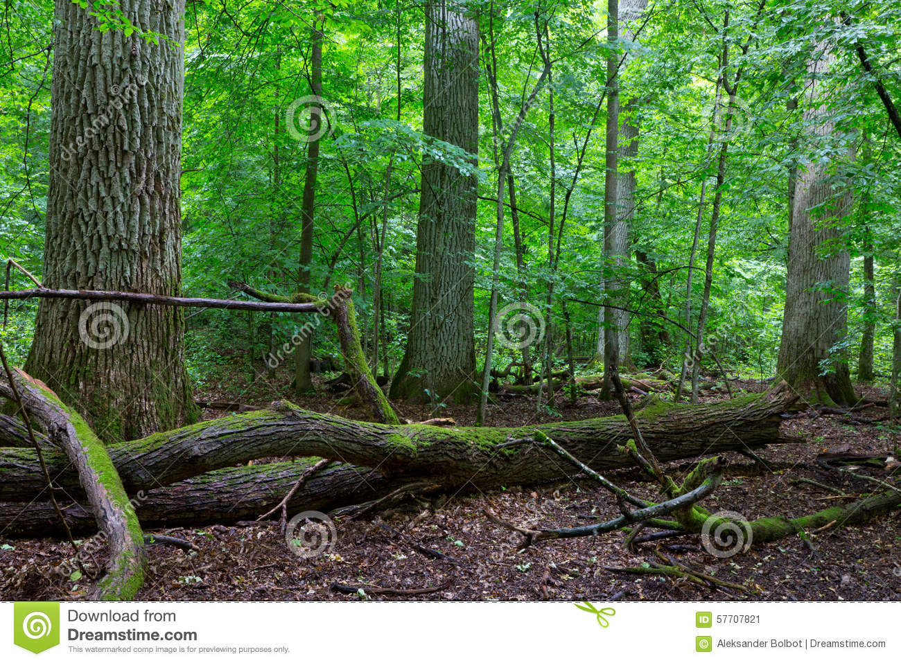 Primeval Deciduous Stand Of Natural Stand In Summertime Stock.