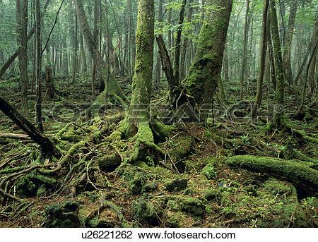 """Stock Photo of """"Primeval Forest, Yamanashi, Japan"""" u26221262."""