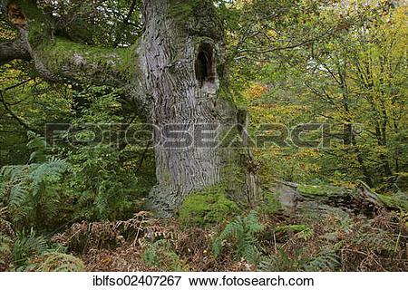 """Picture of """"English Oak or Pedunculate Oak (Quercus robur), oak."""