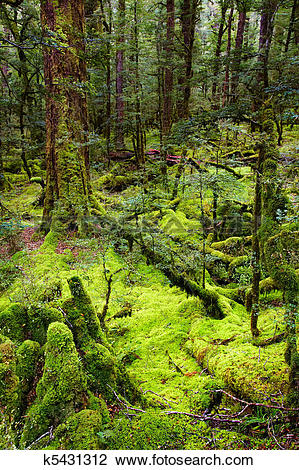 Stock Photo of Primeval forest, New Zealand k5431312.