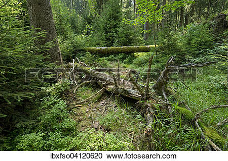 Stock Photography of Dead wood in primeval spruce forest, Norway.