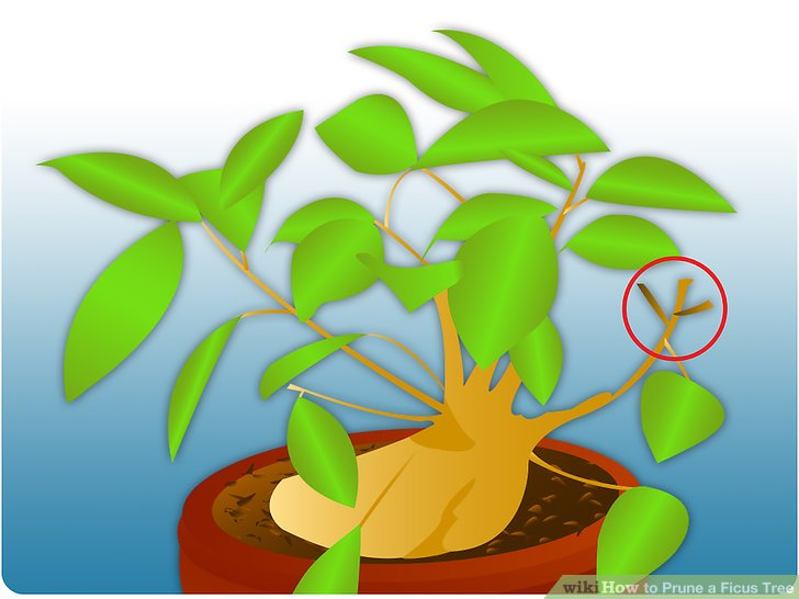 How to Prune a Ficus Tree: 5 Steps (with Pictures).