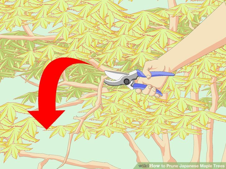 How to Prune Japanese Maple Trees: 13 Steps (with Pictures).