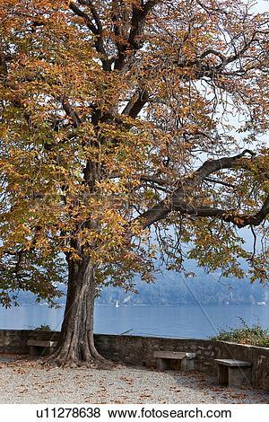 Pictures of Beautiful old horsechestnut tree in autumn splendour.
