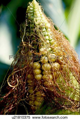 Stock Image of corn floss, nature, corn silk, summer, season, food.