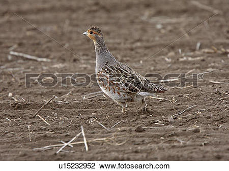 Stock Photo of nature gray partridge in field game u15232952.