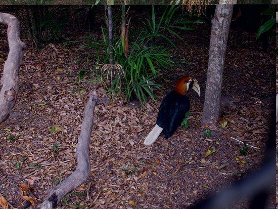 PNG Hornbill.