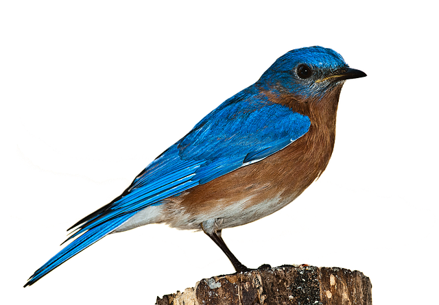Bird Bluebird Png.