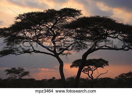 Stock Photo of Acacia Tortilis tree in the Serengeti National Park.