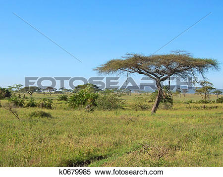 Stock Image of Acacia in the african savanna, Serengeti park.