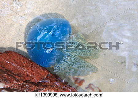 Pictures of blue jelly fish nature shot at sea k11399998.