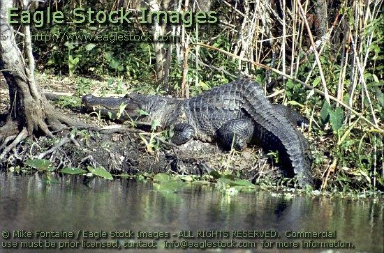Alligator Photo.