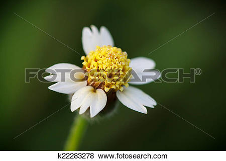 Pictures of Marco shot of a tridax procumbens, small flowers in.