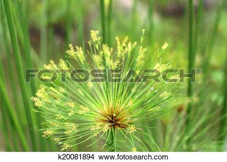 Stock Photo of macro nature background shot of papyrus plant.