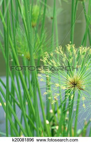 Stock Images of macro nature background shot of papyrus plant.