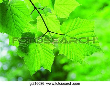 Stock Images of leaf, leaves, closeup, close shot, nature, natural.