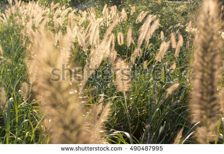 Green Bristle Grass Stock Photos, Royalty.
