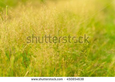 """foxtail Grass"""" Stock Photos, Royalty."""