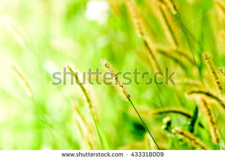 Green Bristle Grass Stock Photos, Royalty.
