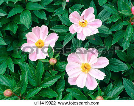 Stock Photo of plants, nature, peony, flower, plant, film.