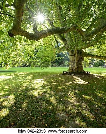 Stock Photo of Huge sycamore tree in park, Landesschule Pforta.