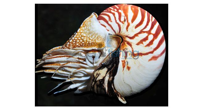 Nautilus png 4 » PNG Image.