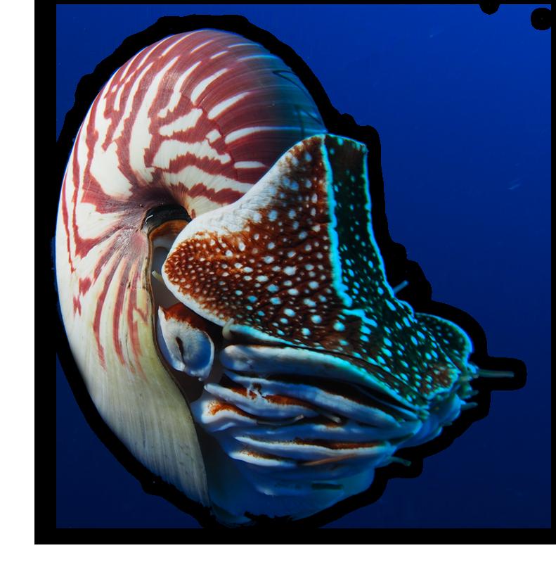 Nautilus png 8 » PNG Image.