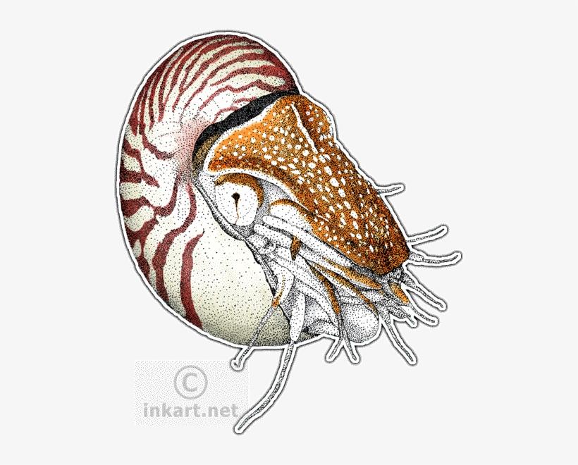 Chambered Nautilus.