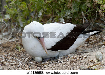 Pictures of Nazca booby (Sula granti) hatching its eggs, Darwin.