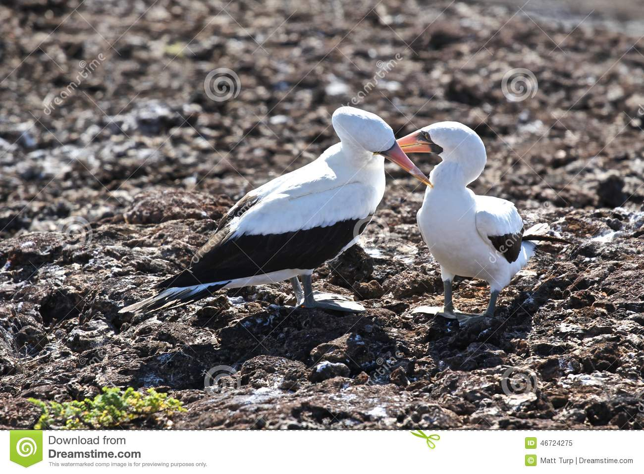 Nazca Booby Love In The Galapagos Stock Photo.