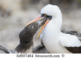 Nazca booby Images and Stock Photos. 228 nazca booby photography.