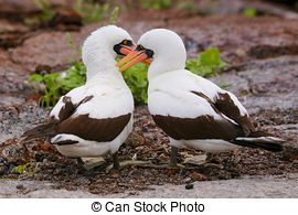 Stock Photography of Pair of Nazca boobies grooming in each other.