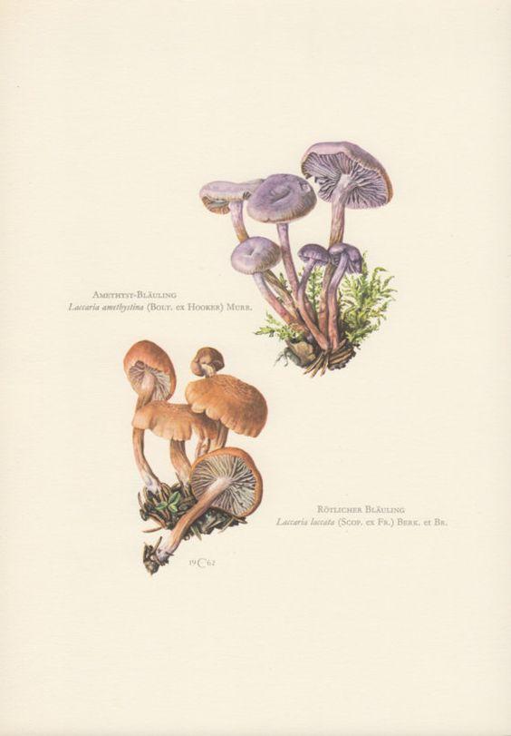 1962 Mushroom Print, Fungi Illustration, Laccaria laccata.