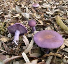 Can't say I've ever seen a purple mushroom in real life what an.