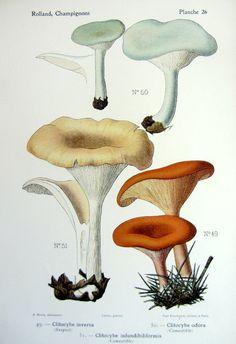 Nebelgrauer clitocybe amethystina clipart #18