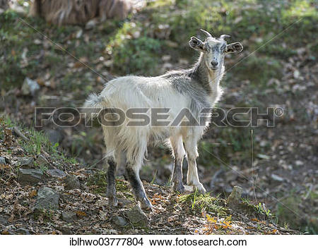 "Stock Photo of ""Feral white goat, Nebrodi National Park, Sicily."