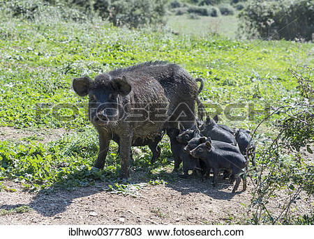 Stock Photo of Pig with piglets, Suino Nero dei Nebrodi, special.