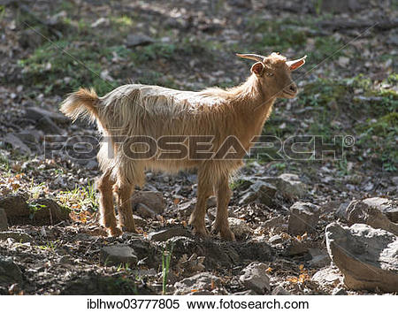 "Stock Image of ""Feral brown goat, Nebrodi National Park, Sicily."