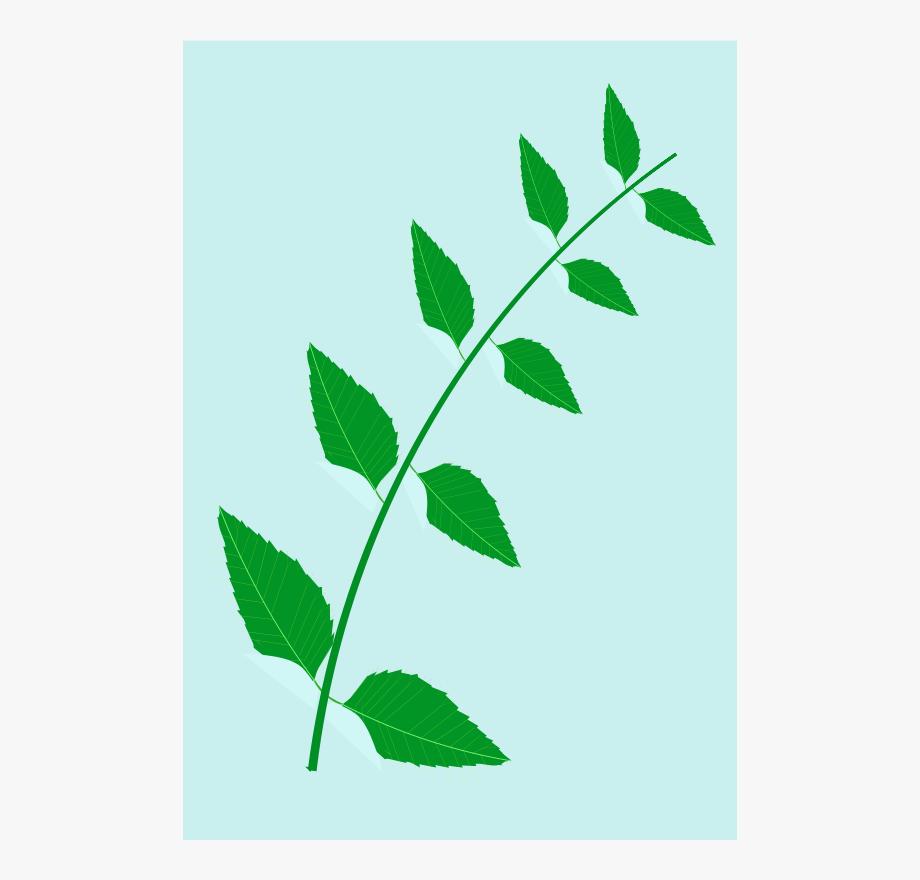 Neem Tree Leaves Clip Art , Transparent Cartoon, Free.