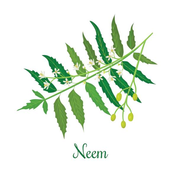 Neem tree clipart 1 » Clipart Station.