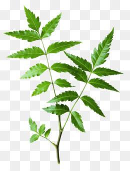 Neem PNG and Neem Transparent Clipart Free Download..