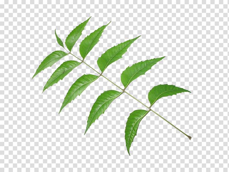 Neem Tree Neem oil Leaf Pimenta racemosa, Leaf transparent.